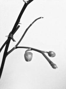 Orchid bud B&W