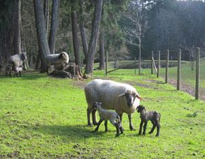 ewe-&-lambs
