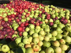 apple-harvest